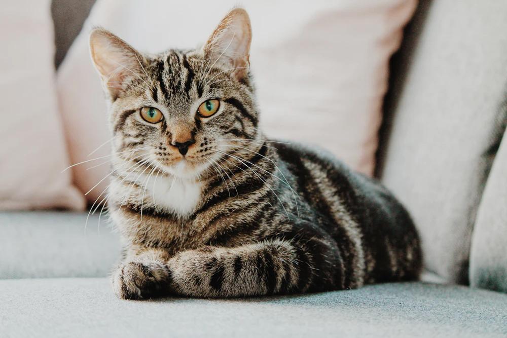 anemie infectioasa felina